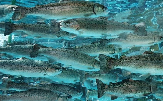 Species Of Fish Can You Catch With Minnows