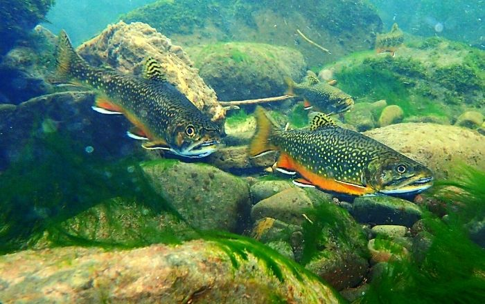 Where do brook trout live