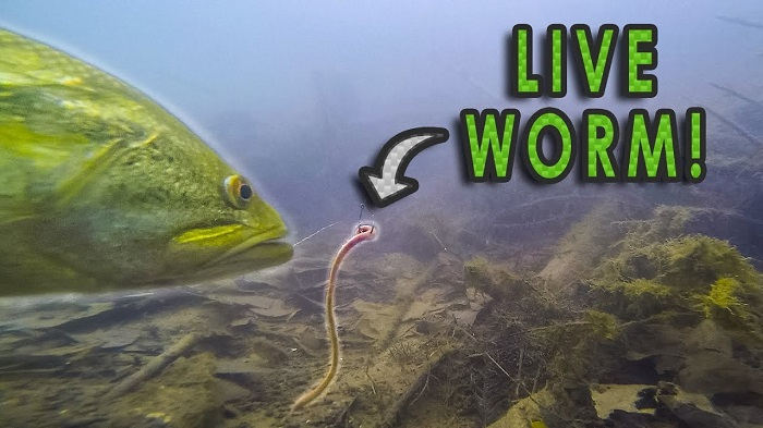 live worms for bass fishing