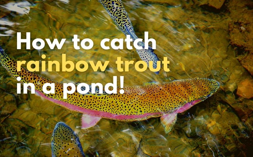 How to catch rainbow trout in a pond