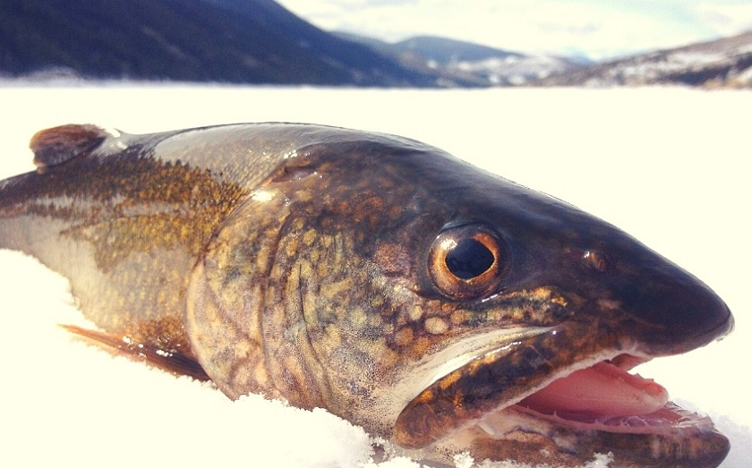 what do trout eat in the winter